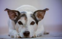 Prvá pomoc pre psy